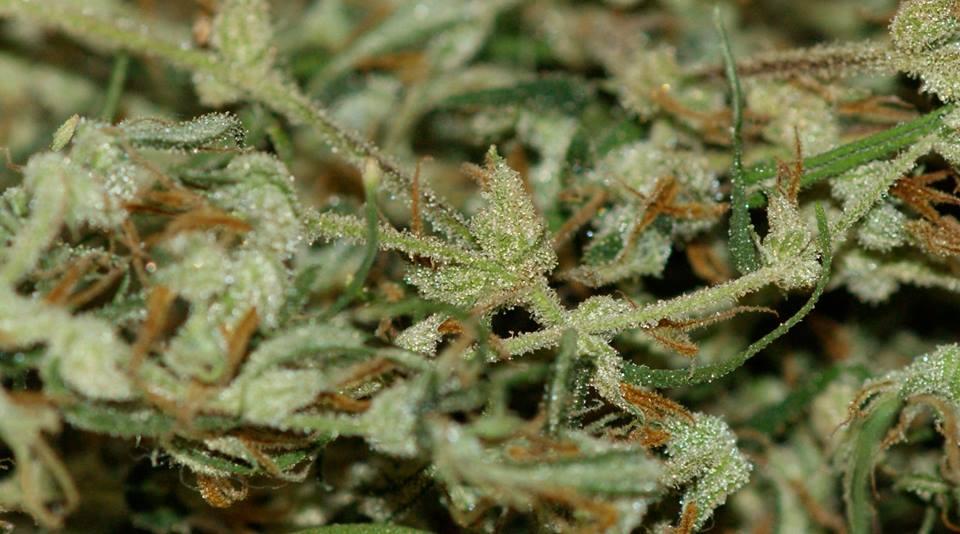 cannabissativazoom
